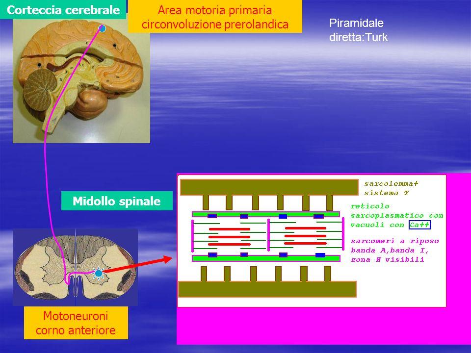 Midollo spinale Corteccia cerebraleArea motoria primaria circonvoluzione prerolandica Motoneuroni corno anteriore Piramidale diretta:Turk