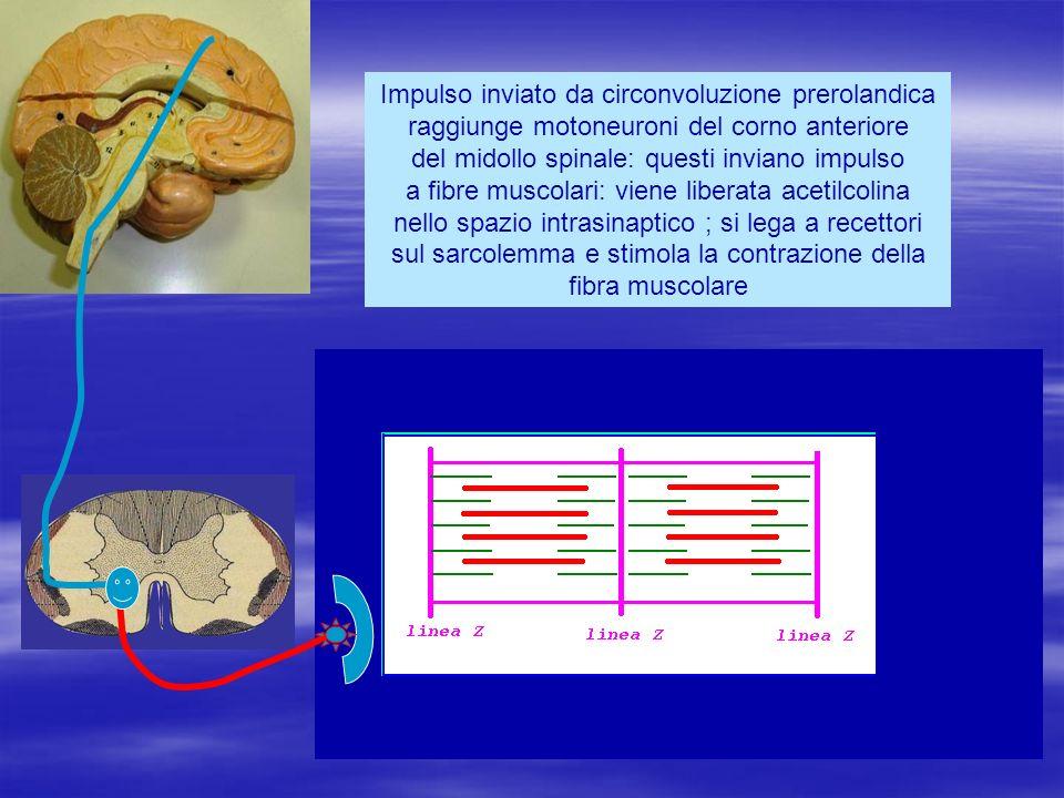 Impulso inviato da circonvoluzione prerolandica raggiunge motoneuroni del corno anteriore del midollo spinale: questi inviano impulso a fibre muscolar