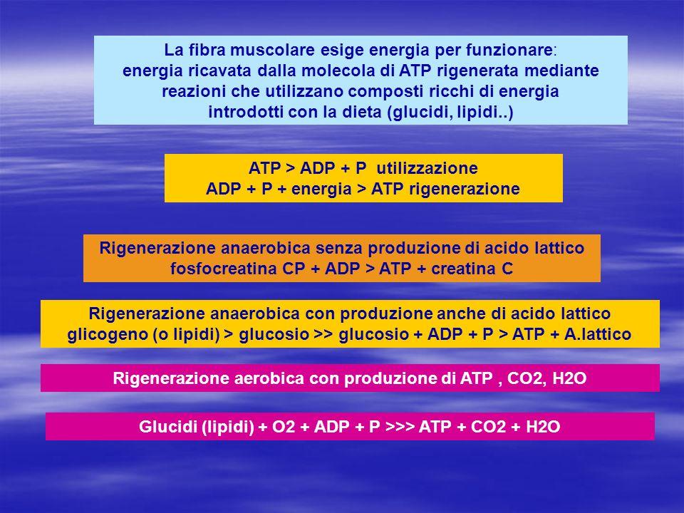 La fibra muscolare esige energia per funzionare: energia ricavata dalla molecola di ATP rigenerata mediante reazioni che utilizzano composti ricchi di