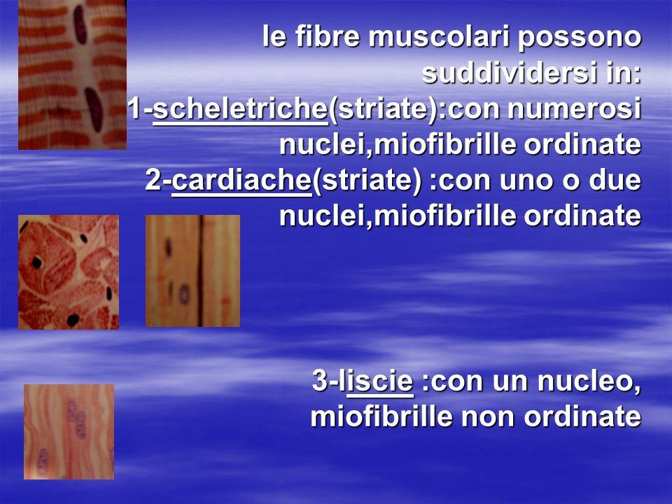 le fibre muscolari possono suddividersi in: 1-scheletriche(striate):con numerosi nuclei,miofibrille ordinate 2-cardiache(striate) :con uno o due nucle