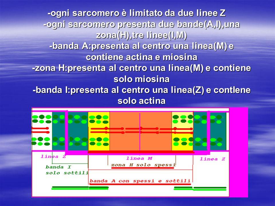 -ogni sarcomero è limitato da due linee Z -ogni sarcomero presenta due bande(A,I),una zona(H),tre linee(I,M) -banda A:presenta al centro una linea(M)