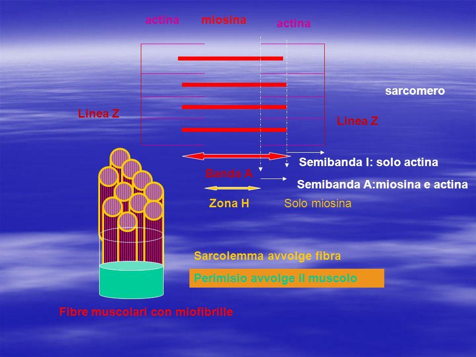 i filamenti sottili (due avvolti ad elica) sono costituiti da proteine globulari di actina i filamenti spessi (due avvolti ad elica) sono costituiti da proteine fibrose terminanti con un ingrossamento(teste) i filamenti sottili (due avvolti ad elica) sono costituiti da proteine globulari di actina i filamenti spessi (due avvolti ad elica) sono costituiti da proteine fibrose terminanti con un ingrossamento(teste)