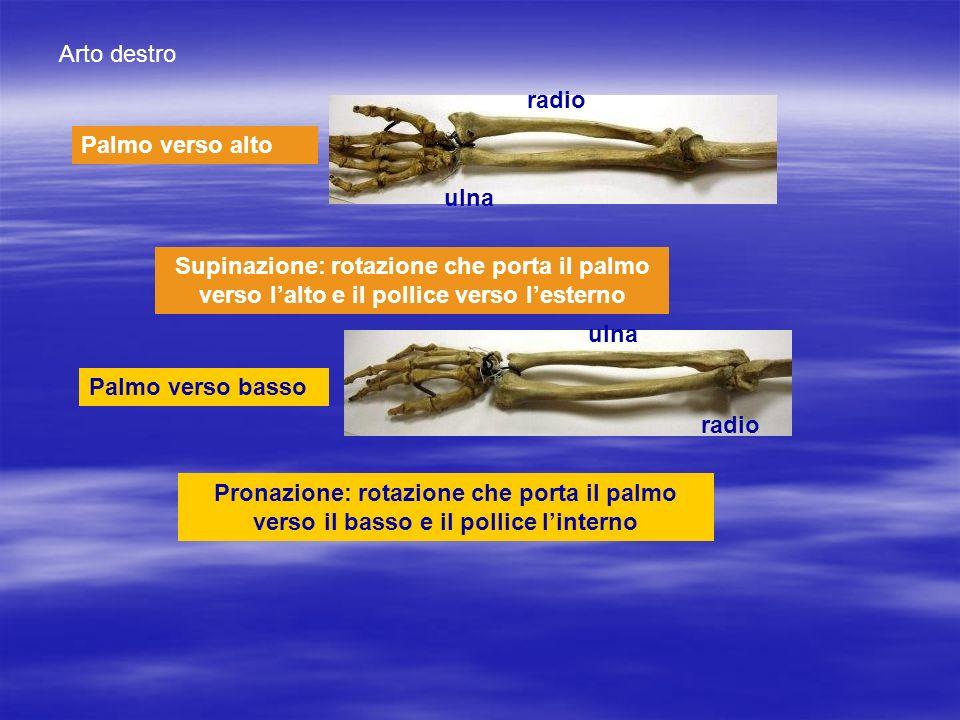 Palmo verso alto Palmo verso basso Arto destro radio ulna radio Pronazione: rotazione che porta il palmo verso il basso e il pollice linterno Supinazi