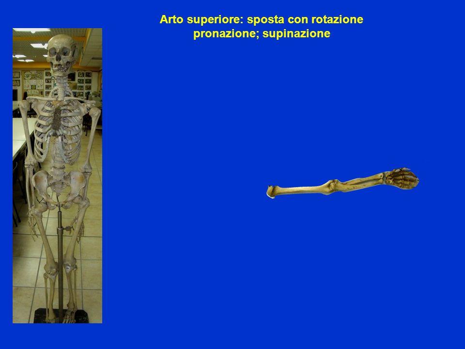 Arto superiore: sposta con rotazione pronazione; supinazione