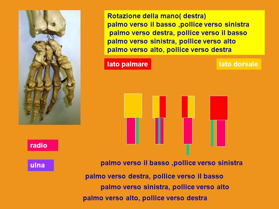 Rotazione della mano( destra) palmo verso il basso,pollice verso sinistra palmo verso destra, pollice verso il basso palmo verso sinistra, pollice ver