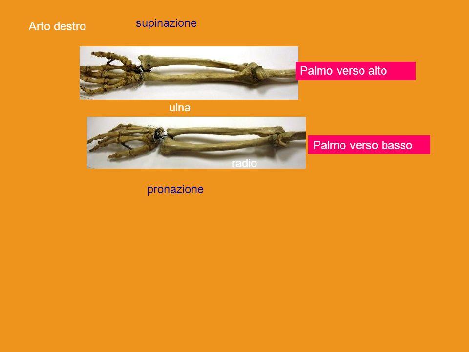 Palmo verso alto Palmo verso basso Arto destro radio ulna radio supinazione pronazione