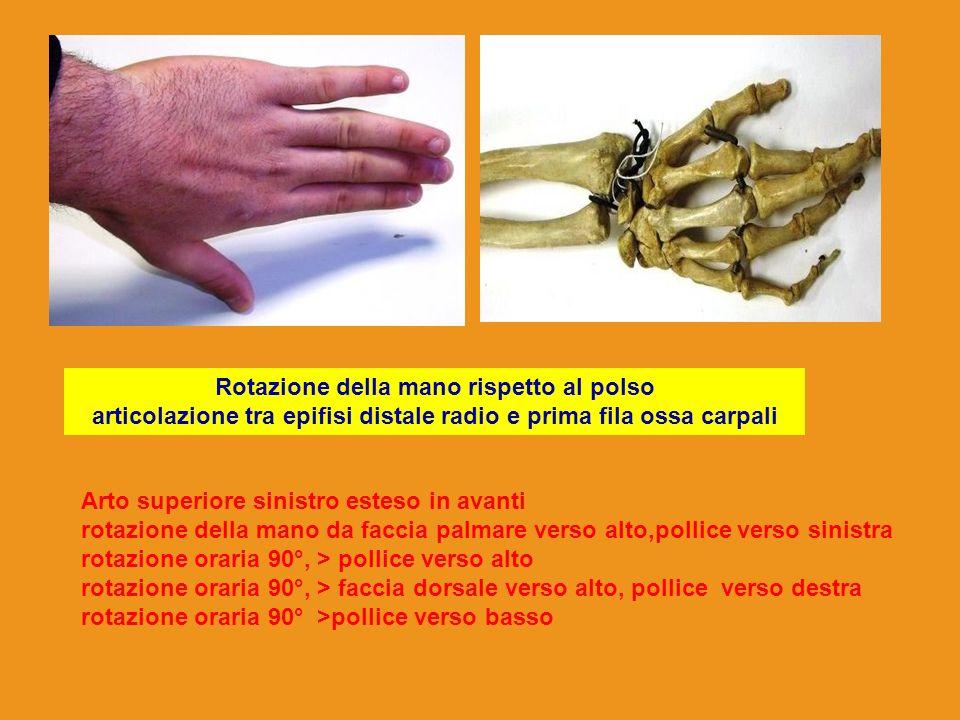 Rotazione della mano rispetto al polso articolazione tra epifisi distale radio e prima fila ossa carpali Arto superiore sinistro esteso in avanti rota