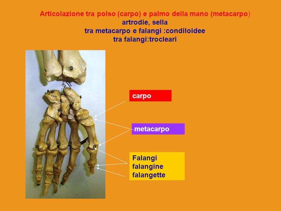 Articolazione tra polso (carpo) e palmo della mano (metacarpo) artrodie, sella tra metacarpo e falangi :condiloidee tra falangi:trocleari carpo metaca