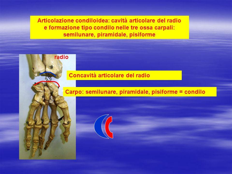 Articolazione condiloidea: cavità articolare del radio e formazione tipo condilo nelle tre ossa carpali: semilunare, piramidale, pisiforme radio Carpo