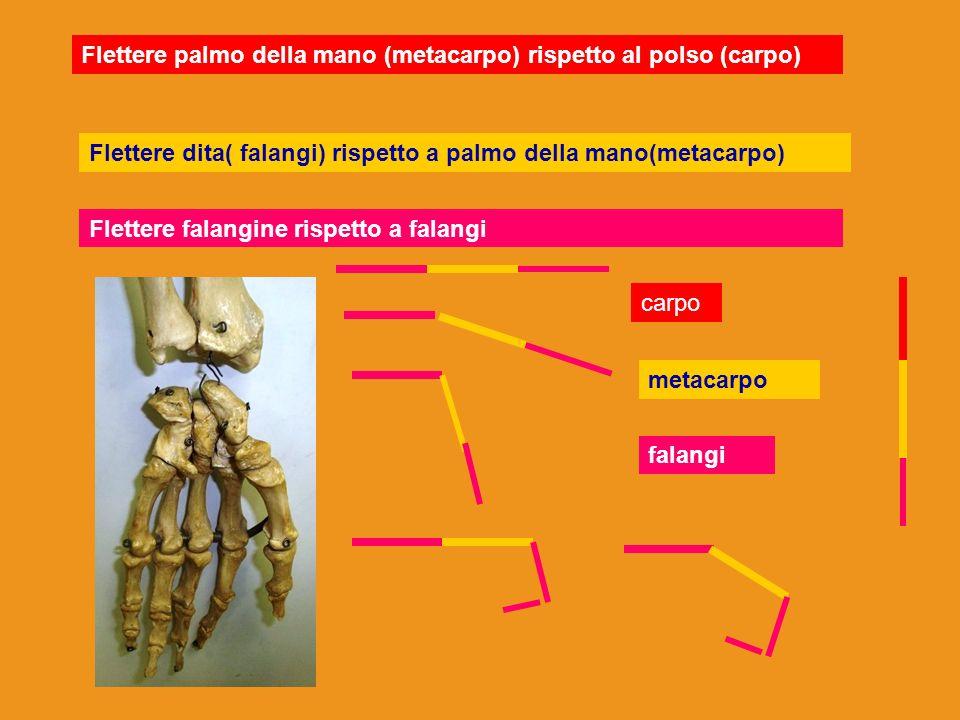 Flettere palmo della mano (metacarpo) rispetto al polso (carpo) Flettere dita( falangi) rispetto a palmo della mano(metacarpo) Flettere falangine risp