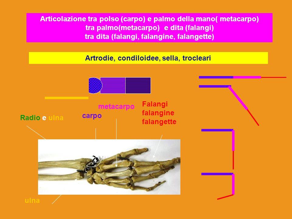 Articolazione tra polso (carpo) e palmo della mano( metacarpo) tra palmo(metacarpo) e dita (falangi) tra dita (falangi, falangine, falangette) Artrodi