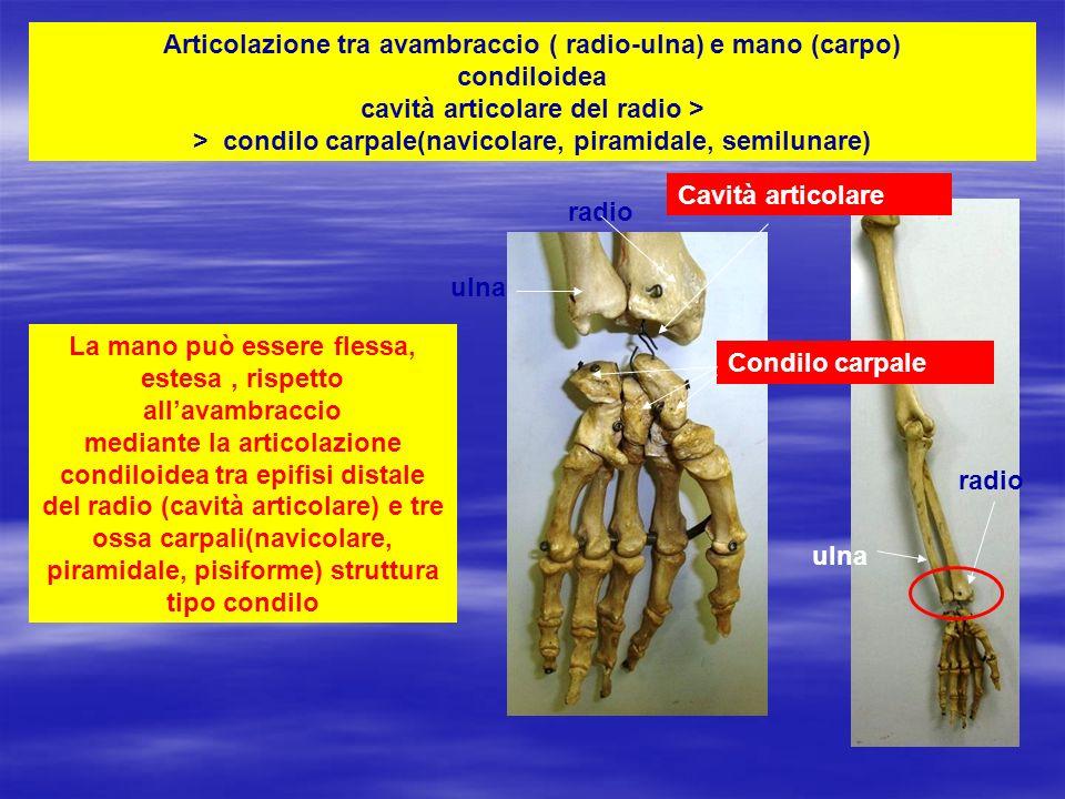 Articolazione condiloidea: cavità articolare del radio e formazione tipo condilo nelle tre ossa carpali: semilunare, piramidale, pisiforme radio Carpo: semilunare, piramidale, pisiforme = condilo Concavità articolare del radio