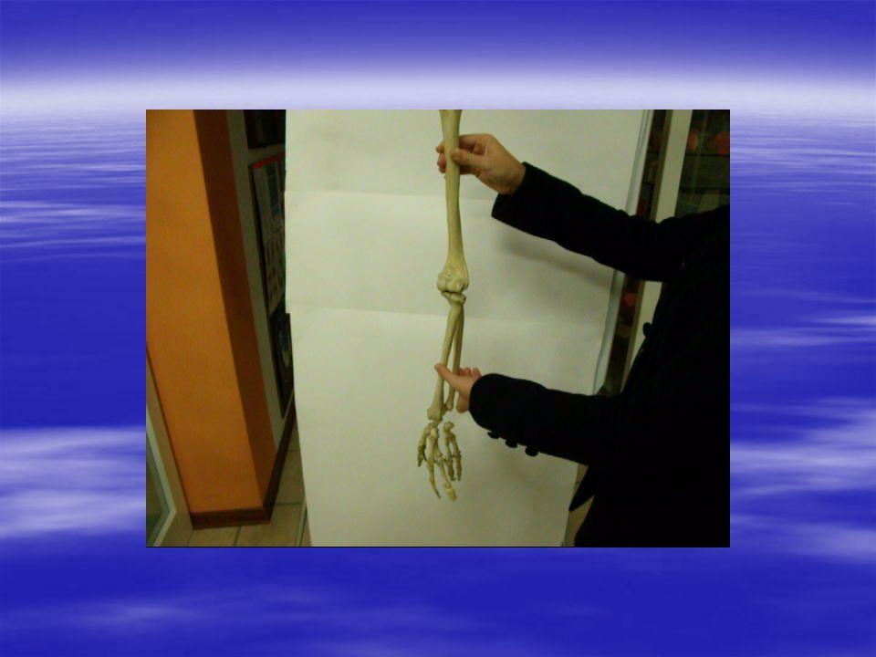 Articolazione tra polso (carpo) e palmo della mano (metacarpo) artrodie, sella tra metacarpo e falangi :condiloidee tra falangi:trocleari carpo metacarpo Falangi falangine falangette