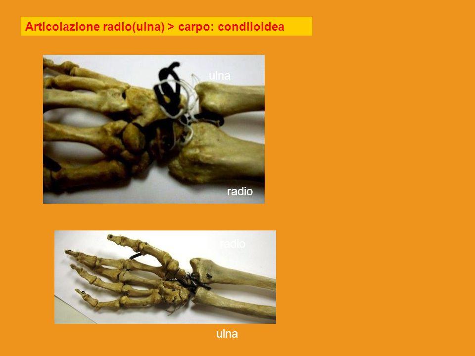 pollice sinistra Palmo basso Pollice destra Palmo alto Pollice alto, palmo sinistra Pollice basso palmo destra Mano destra radio ulna supinazione pronazione Posizione intermedia, verticale