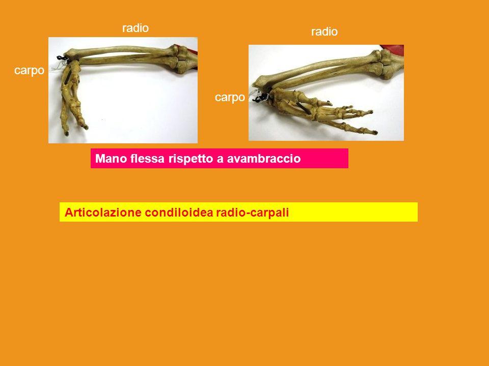 Articolazione tra polso (carpo) e palmo della mano( metacarpo) tra palmo(metacarpo) e dita (falangi) tra dita (falangi, falangine, falangette) Artrodie, condiloidee, sella, trocleari Radio e ulna carpo metacarpo Falangi falangine falangette ulna