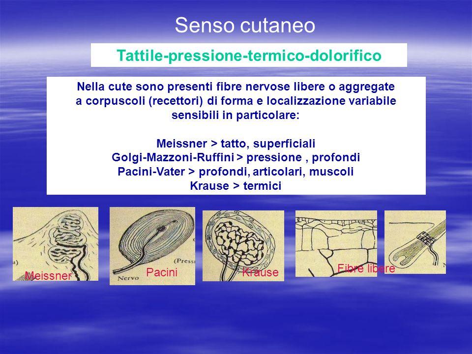 Senso cutaneo Tattile-pressione-termico-dolorifico Nella cute sono presenti fibre nervose libere o aggregate a corpuscoli (recettori) di forma e localizzazione variabile sensibili in particolare: Meissner > tatto, superficiali Golgi-Mazzoni-Ruffini > pressione, profondi Pacini-Vater > profondi, articolari, muscoli Krause > termici Fibre libere Meissner PaciniKrause