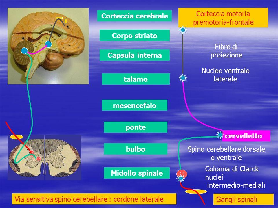 Midollo spinale bulbo ponte mesencefalo talamo Capsula interna Corpo striato Corteccia cerebrale cervelletto Via sensitiva spino cerebellare : cordone laterale Gangli spinali Colonna di Clarck nuclei intermedio-mediali Corteccia motoria premotoria-frontale Spino cerebellare dorsale e ventrale Nucleo ventrale laterale Fibre di proiezione