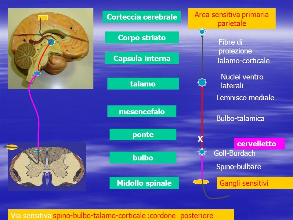 Midollo spinale bulbo ponte mesencefalo talamo Capsula interna Corpo striato Corteccia cerebrale cervelletto Via sensitiva spino-bulbo-talamo-cortical