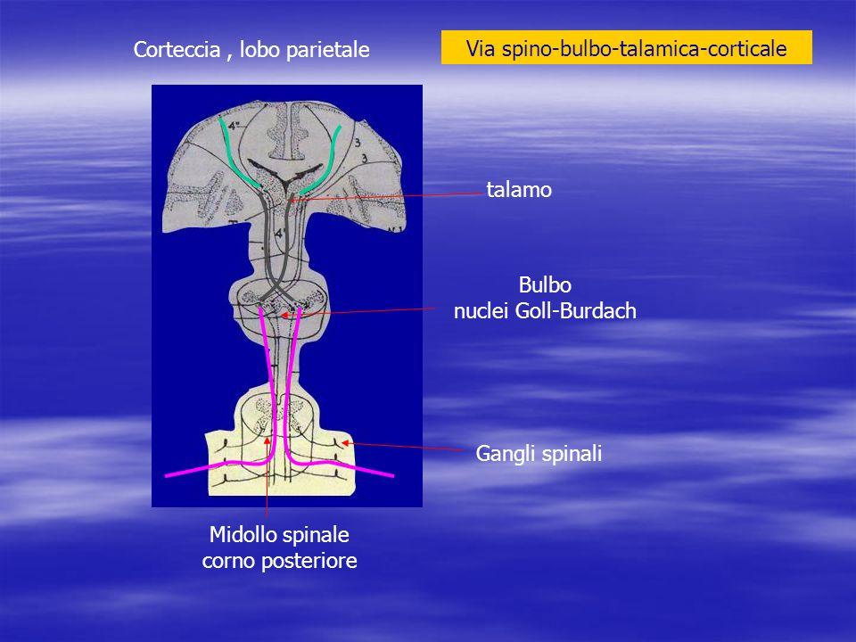 Corteccia, lobo parietale talamo Bulbo nuclei Goll-Burdach Midollo spinale corno posteriore Gangli spinali Via spino-bulbo-talamica-corticale