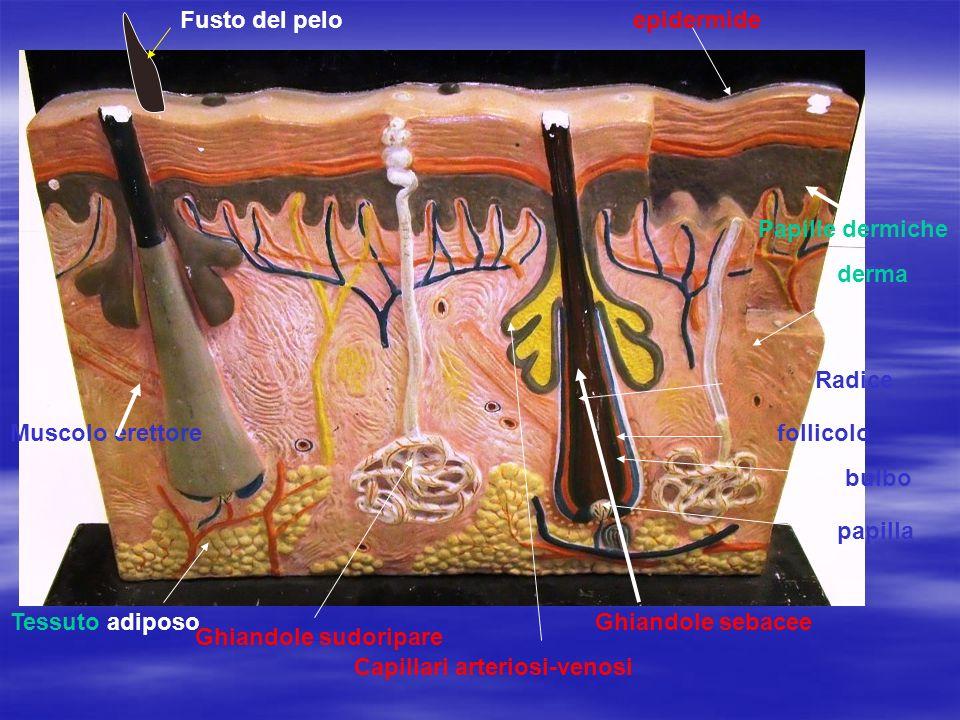Ghiandole sebacee Ghiandole sudoripare Capillari arteriosi-venosi Fusto del pelo Radice bulbo follicolo papilla Muscolo erettore epidermide derma Papille dermiche Tessuto adiposo