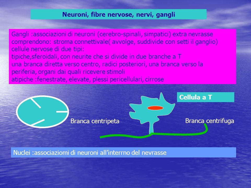 Neuroni, fibre nervose, nervi, gangli Gangli :associazioni di neuroni (cerebro-spinali, simpatici) extra nevrasse comprendono: stroma connettivale( av