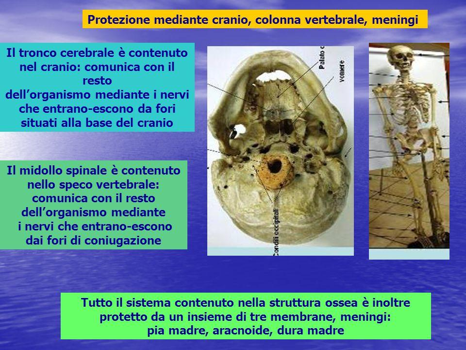 Protezione mediante cranio, colonna vertebrale, meningi Il tronco cerebrale è contenuto nel cranio: comunica con il resto dellorganismo mediante i ner
