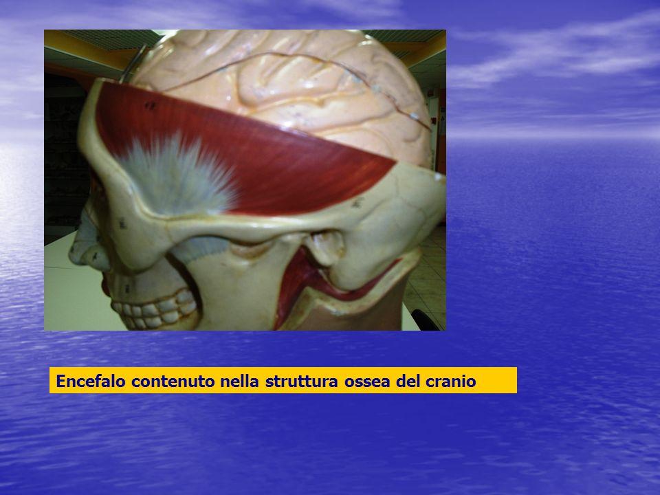 Encefalo contenuto nella struttura ossea del cranio