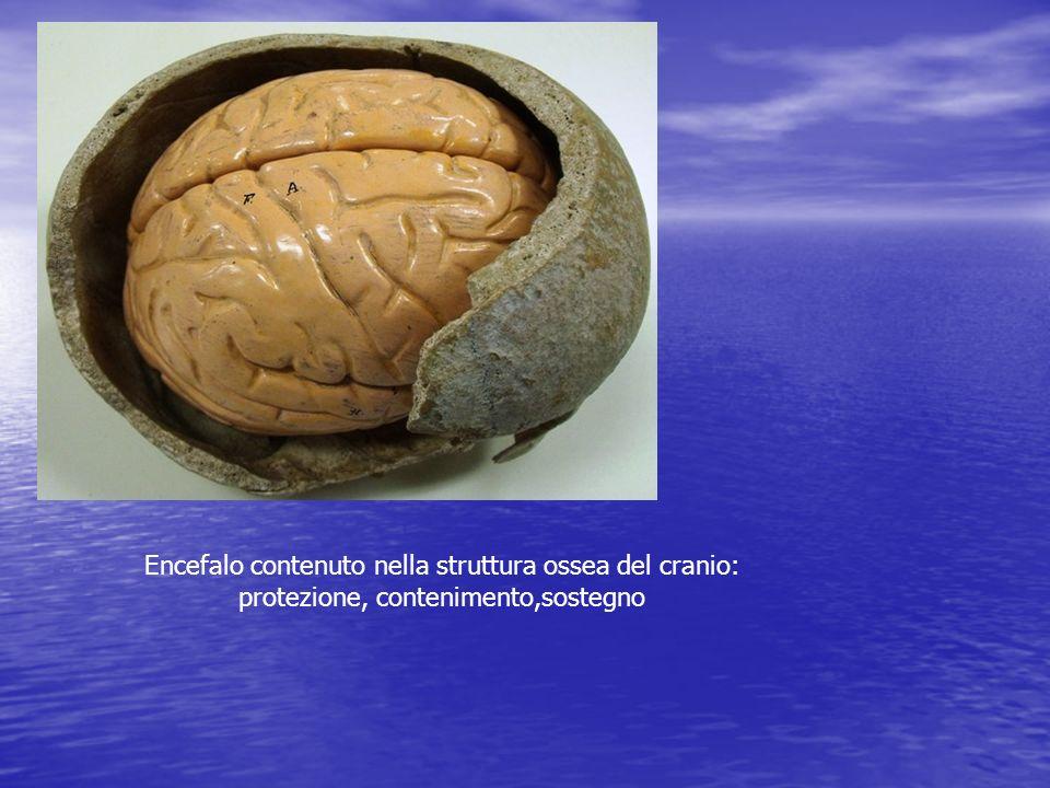 Encefalo contenuto nella struttura ossea del cranio: protezione, contenimento,sostegno