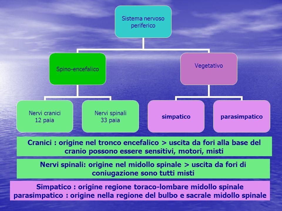 Cranici : origine nel tronco encefalico > uscita da fori alla base del cranio possono essere sensitivi, motori, misti Nervi spinali: origine nel midol