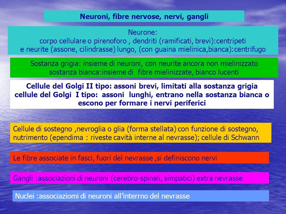 Neuroni, fibre nervose, nervi, gangli Neurone: corpo cellulare o pirenoforo, dendriti (ramificati, brevi):centripeti e neurite (assone, cilindrasse) l