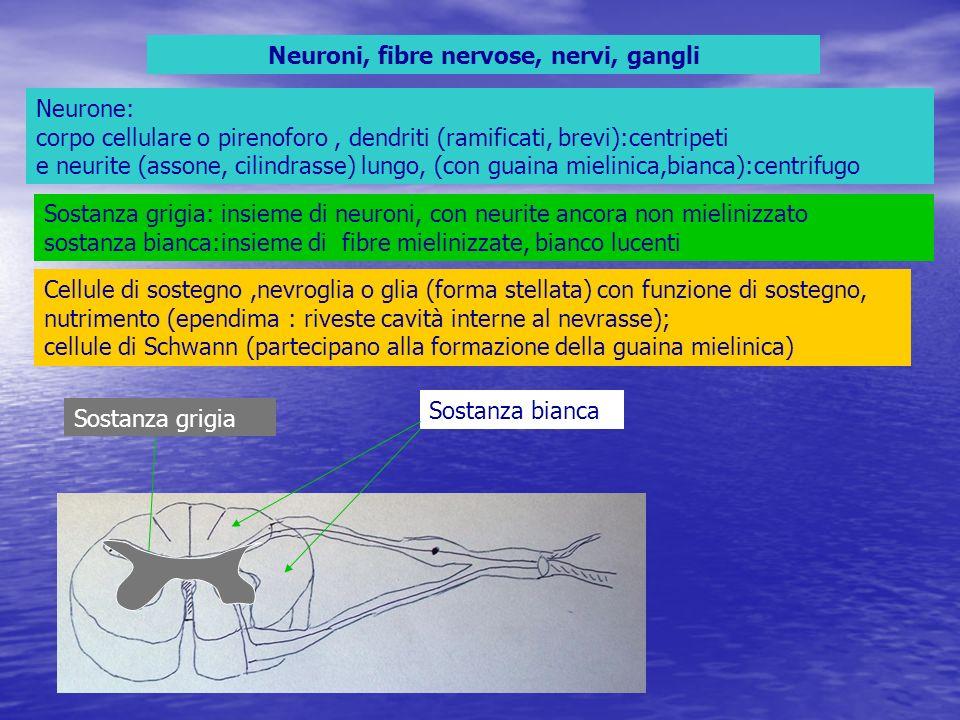 Dalle radici anteriori escono fibre motorie Nelle radici posteriori entrano fibre sensitive, provenienti dai gangli cerebro spinali le fibre dei due tipi si uniscono per formare un nervo, misto, che esce dai fori intervertebrali di coniugazione,e si dirige agli organi da innervare il nervo si suddivide in un ramo anteriore più grosso e uno posteriore più sottile Ramo posteriore Ramo anteriore nervo Ganglio cerebro spinale Corna posteriori e fibre sensitive Corna anteriori e fibre motorie Fori di coniugazione Corna anteriori con neuroni motori Corna posteriori con neuroni di associazione Zona intermedia con neuroni per vegetativo