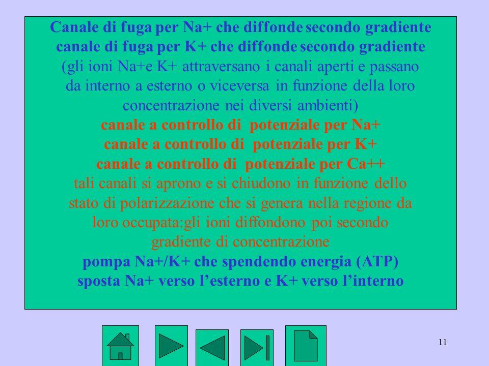 11 Canale di fuga per Na+ che diffonde secondo gradiente canale di fuga per K+ che diffonde secondo gradiente (gli ioni Na+e K+ attraversano i canali