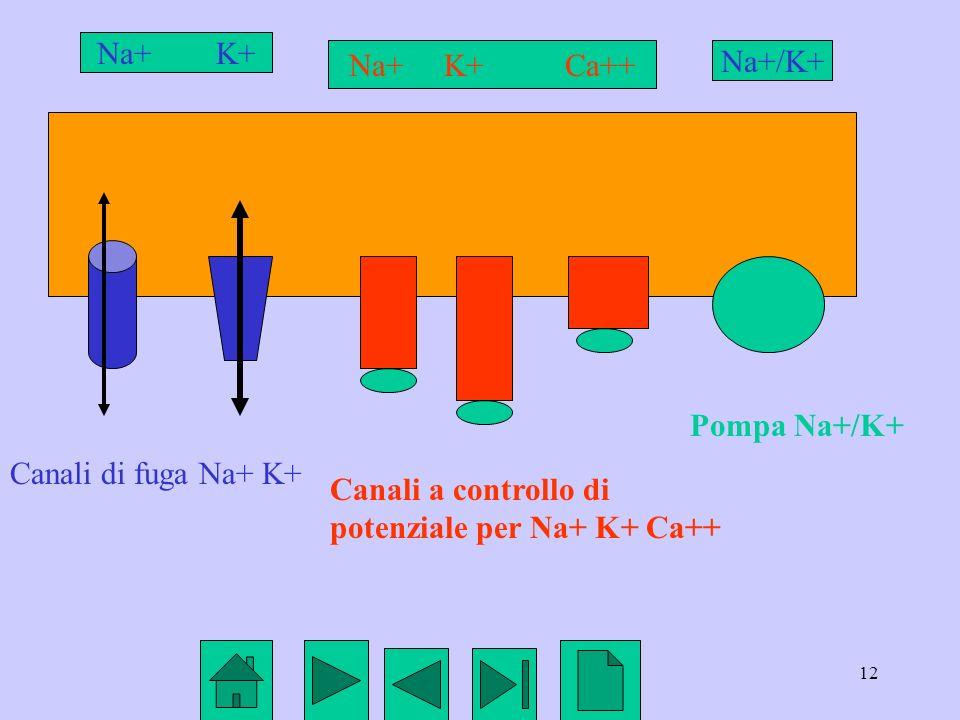 12 Canali di fuga Na+ K+ Canali a controllo di potenziale per Na+ K+ Ca++ Pompa Na+/K+ Na+ K+ Na+ K+ Ca++ Na+/K+