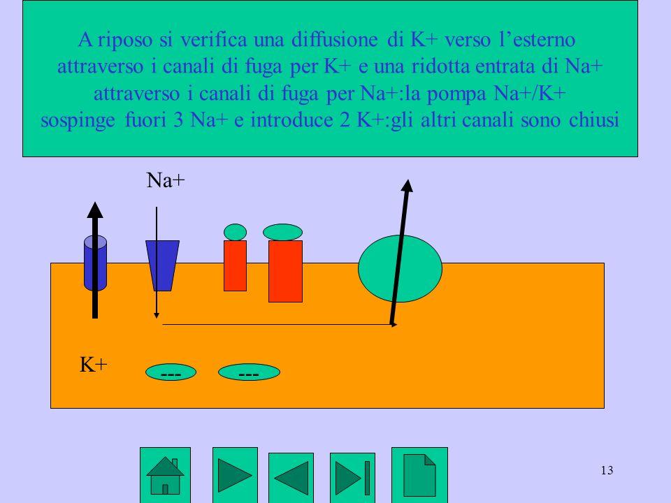 13 K+ Na+ --- A riposo si verifica una diffusione di K+ verso lesterno attraverso i canali di fuga per K+ e una ridotta entrata di Na+ attraverso i ca