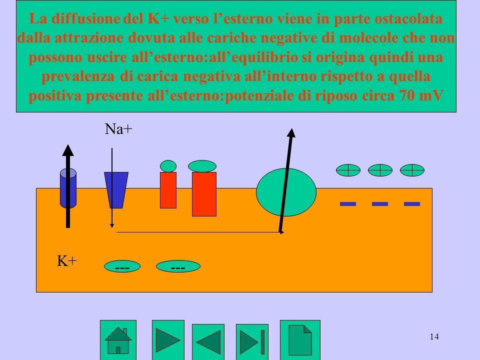 14 K+ Na+ --- La diffusione del K+ verso lesterno viene in parte ostacolata dalla attrazione dovuta alle cariche negative di molecole che non possono
