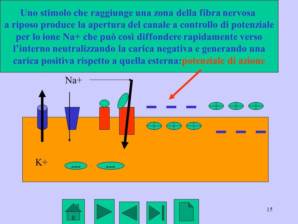 15 K+ Na+ --- Uno stimolo che raggiunge una zona della fibra nervosa a riposo produce la apertura del canale a controllo di potenziale per lo ione Na+