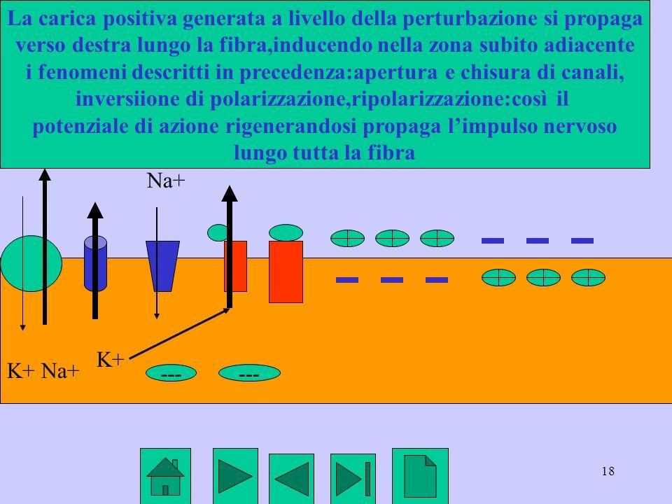 18 K+ Na+ --- K+ Na+ La carica positiva generata a livello della perturbazione si propaga verso destra lungo la fibra,inducendo nella zona subito adia