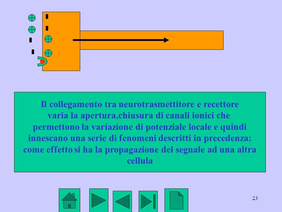 23 Il collegamento tra neurotrasmettitore e recettore varia la apertura,chiusura di canali ionici che permettono la variazione di potenziale locale e