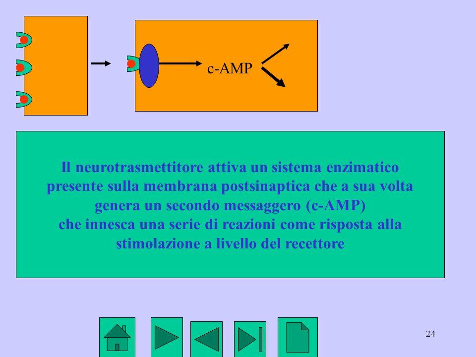 24 Il neurotrasmettitore attiva un sistema enzimatico presente sulla membrana postsinaptica che a sua volta genera un secondo messaggero (c-AMP) che i