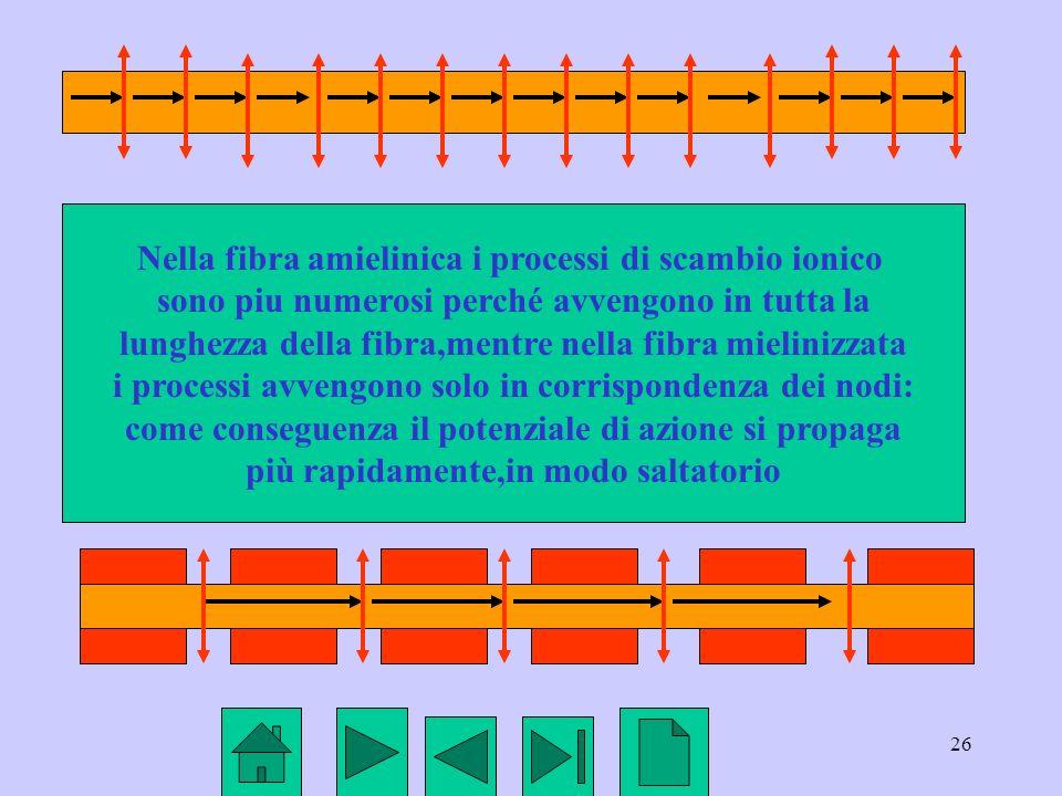 26 Nella fibra amielinica i processi di scambio ionico sono piu numerosi perché avvengono in tutta la lunghezza della fibra,mentre nella fibra mielini