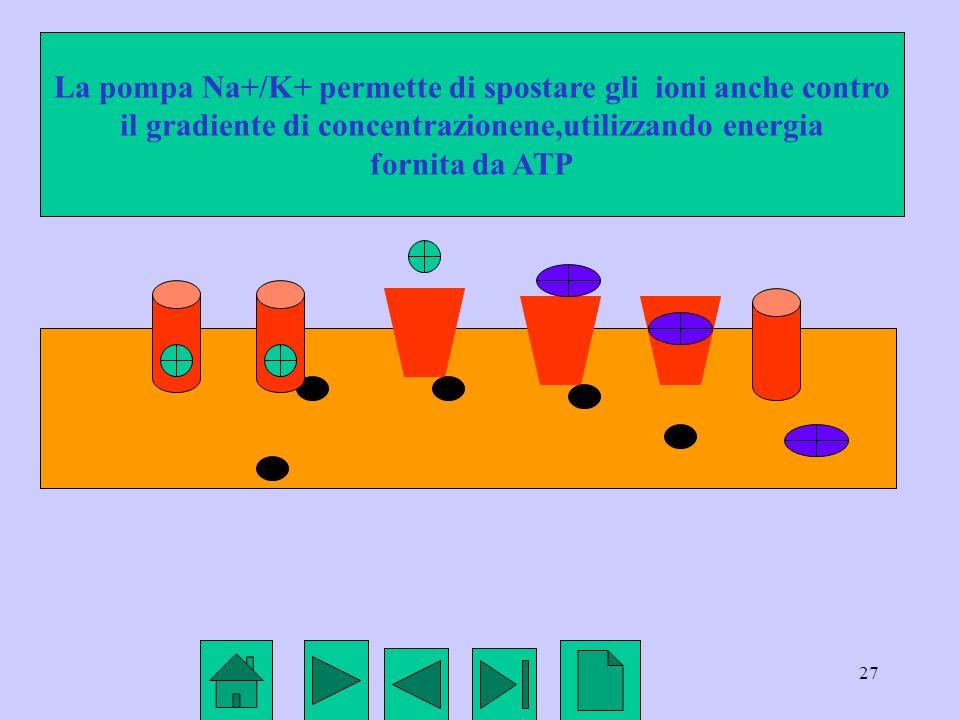 27 La pompa Na+/K+ permette di spostare gli ioni anche contro il gradiente di concentrazionene,utilizzando energia fornita da ATP
