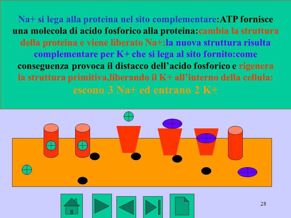 28 Na+ si lega alla proteina nel sito complementare:ATP fornisce una molecola di acido fosforico alla proteina:cambia la struttura della proteina e vi
