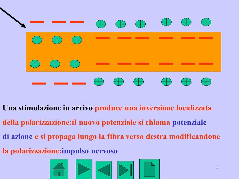 3 Una stimolazione in arrivo produce una inversione localizzata della polarizzazione:il nuovo potenziale si chiama potenziale di azione e si propaga l