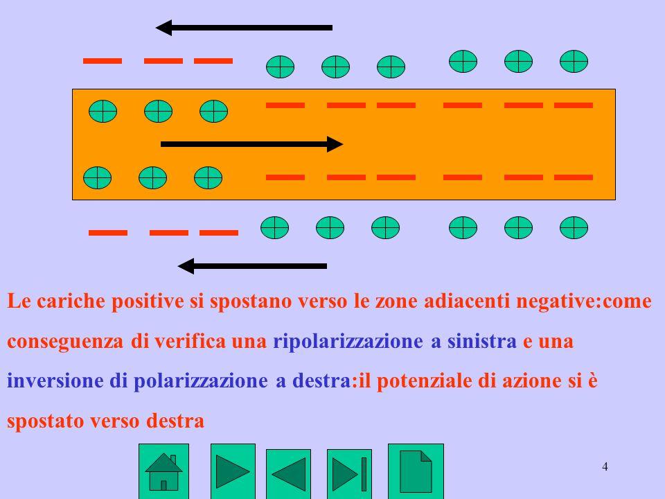 4 Le cariche positive si spostano verso le zone adiacenti negative:come conseguenza di verifica una ripolarizzazione a sinistra e una inversione di po