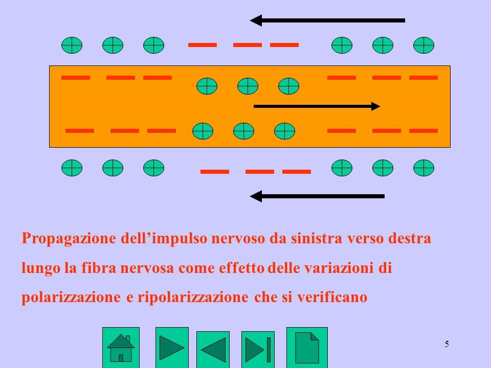 5 Propagazione dellimpulso nervoso da sinistra verso destra lungo la fibra nervosa come effetto delle variazioni di polarizzazione e ripolarizzazione