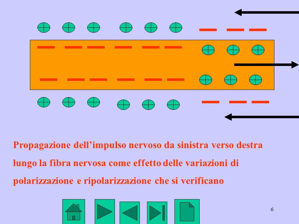 6 Propagazione dellimpulso nervoso da sinistra verso destra lungo la fibra nervosa come effetto delle variazioni di polarizzazione e ripolarizzazione