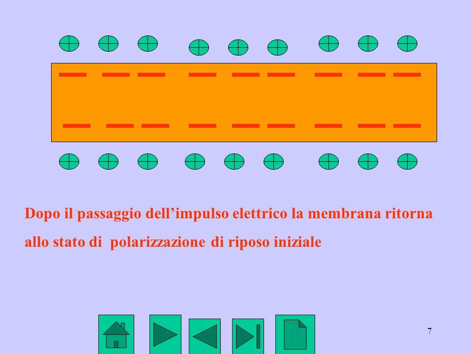 7 Dopo il passaggio dellimpulso elettrico la membrana ritorna allo stato di polarizzazione di riposo iniziale