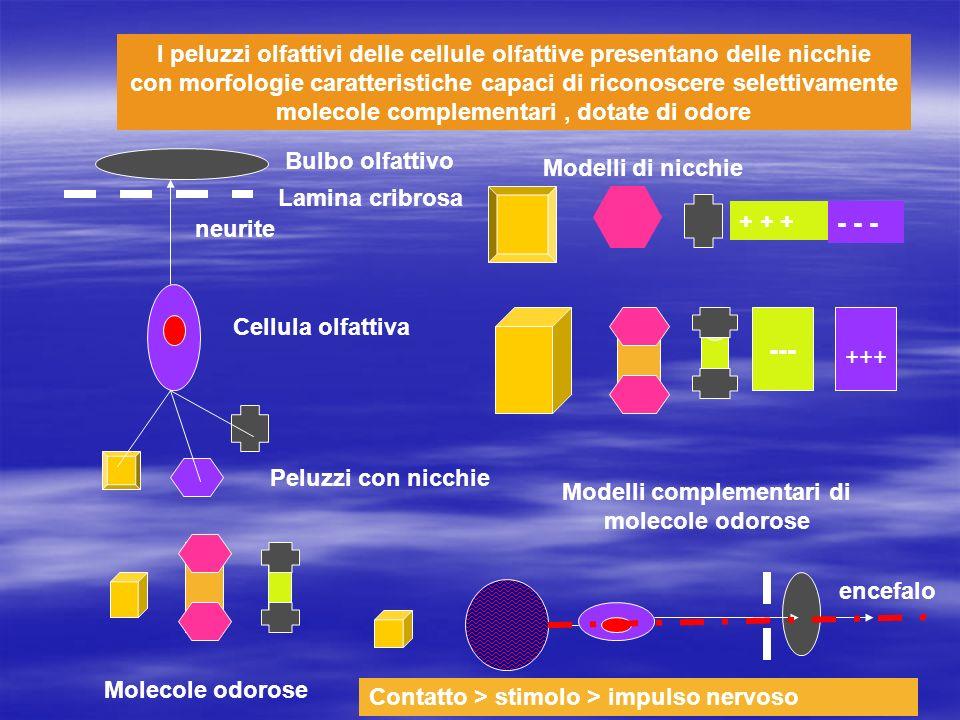 I peluzzi olfattivi delle cellule olfattive presentano delle nicchie con morfologie caratteristiche capaci di riconoscere selettivamente molecole comp