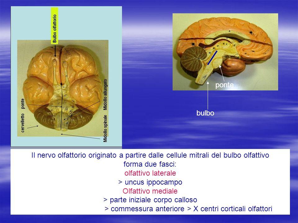 ponte bulbo Il nervo olfattorio originato a partire dalle cellule mitrali del bulbo olfattivo forma due fasci: olfattivo laterale > uncus ippocampo Ol
