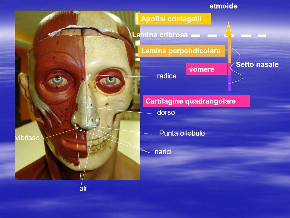 Midollo spinale Midollo allungato ponte cervellettoCorpo calloso Bulbo olfattorio